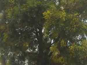 Festa della donna 8 marzo albero di mimosa